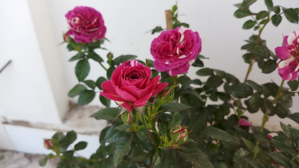 Hoa hồng Scented Jewel rose