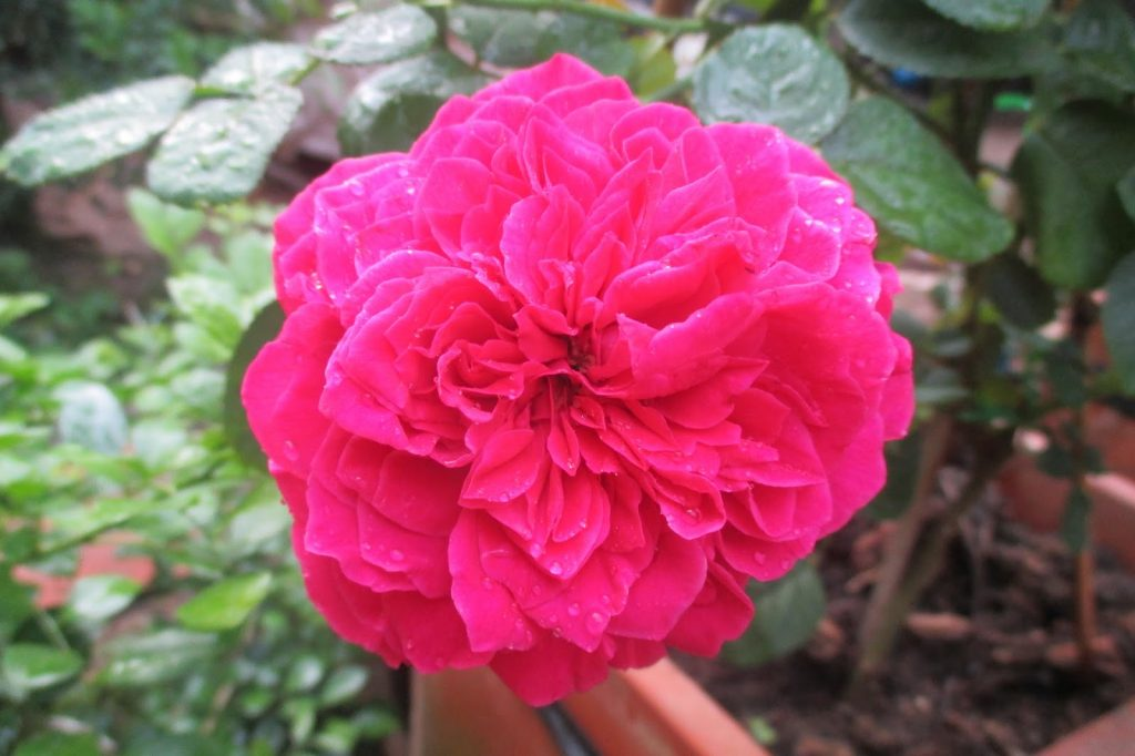 Form hoa hồng Rouge Royale rose