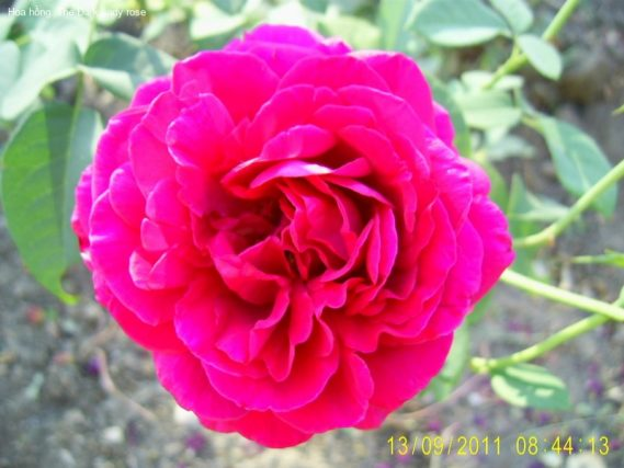 Ảnh 168 The Dark Lady Rose