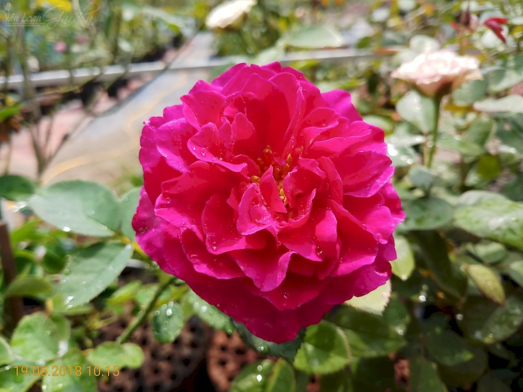 Form hoa hồng ngoại Darcey bussell rose