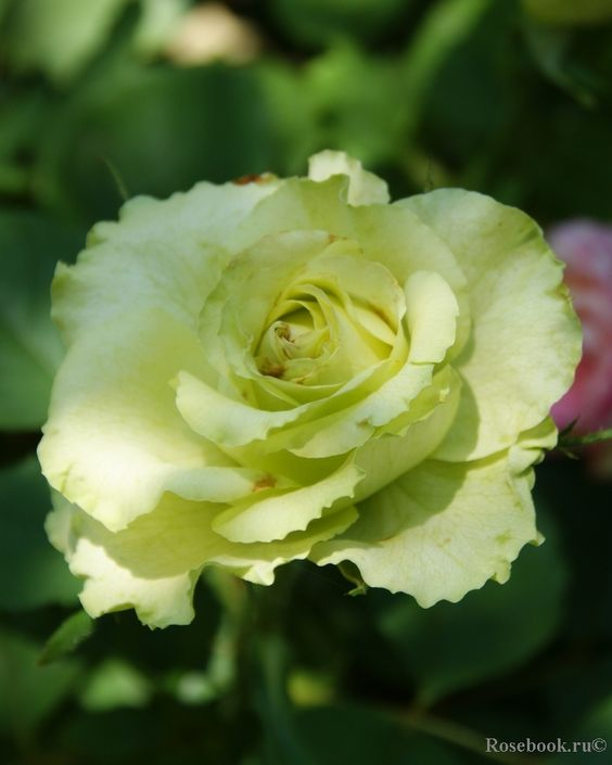 Green Planet rose. Nguồn: rosebook.ru