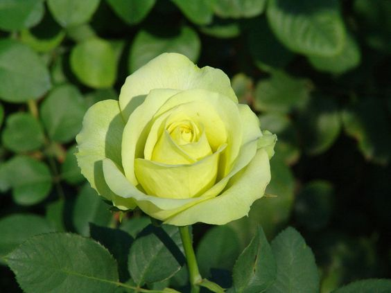 Hoa hồng Irish Luck rose