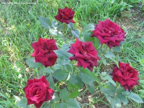 Ảnh 259 Black Baccara Rose