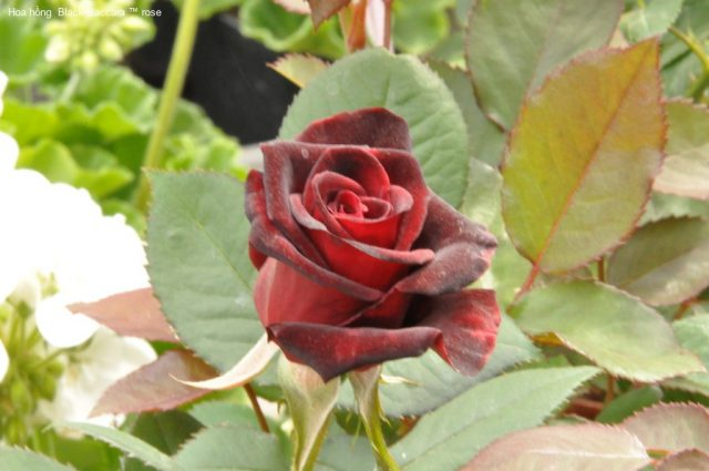 Ảnh 290 Black Baccara ™ Rose