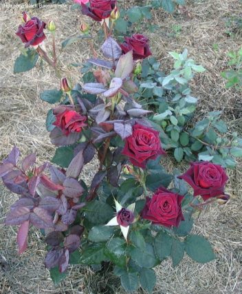 Ảnh 700 Black Baccara Rose
