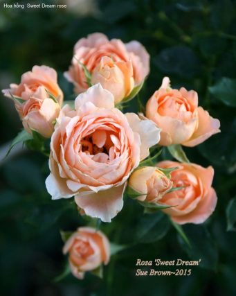Ảnh 150 Sweet Dream Rose