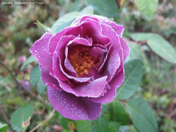 Ảnh 155 Rhapsody In Blue ™ Rose