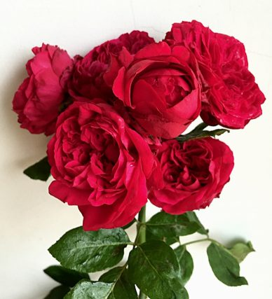 Ảnh 252 Red Pierre Rose