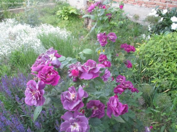 Ảnh 32 Rhapsody In Blue ™ Rose