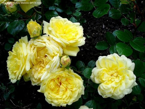 Ảnh 590 Yellow Meilove &#174 Rose