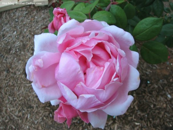Ảnh 167 Brother Cadfael Rose