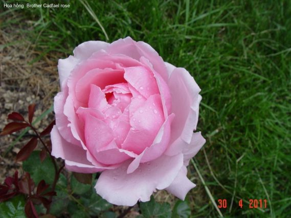 Ảnh 26 Brother Cadfael Rose