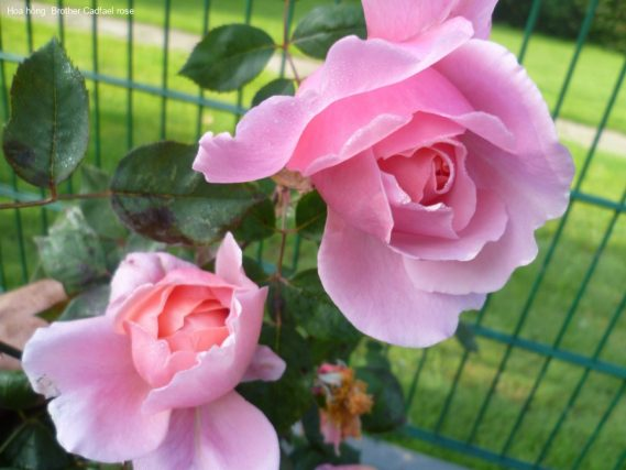 Ảnh 266 Brother Cadfael Rose