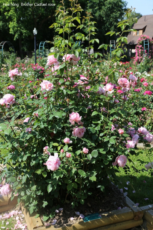 Ảnh 331 Brother Cadfael Rose