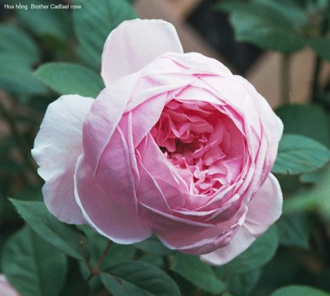 Ảnh 581 Brother Cadfael Rose