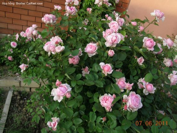 Ảnh 779 Brother Cadfael Rose