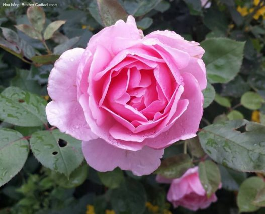 Ảnh 856 Brother Cadfael Rose