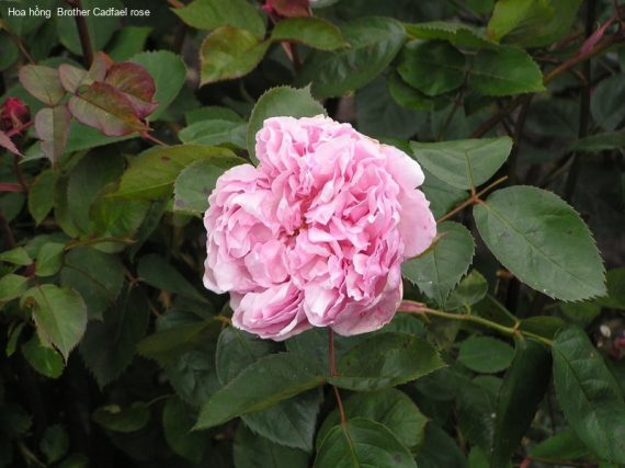 Ảnh 899 Brother Cadfael Rose