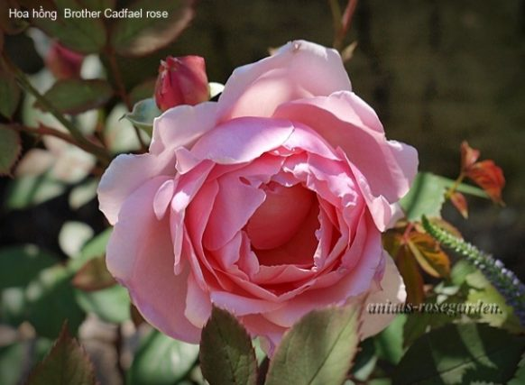 Ảnh 961 Brother Cadfael Rose