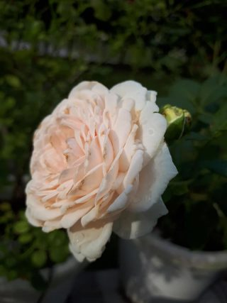 Herzogin Christiana ® Rose 2