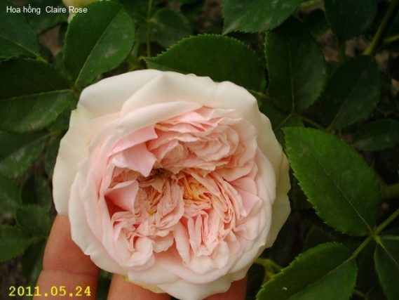 Ảnh 650 Claire Rose