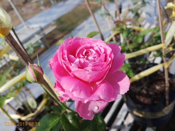 Hoa Hồng Ngoại For Your Home Rose (1)