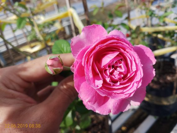 Hoa Hồng Ngoại For Your Home Rose (2)