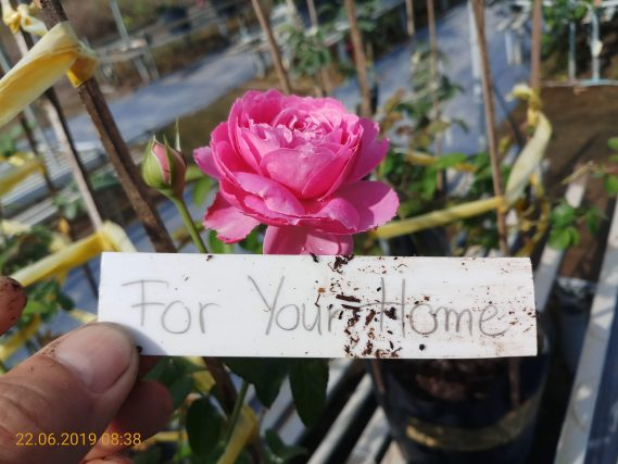 Hoa Hồng Ngoại For Your Home Rose (3)