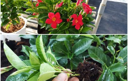 Dipladenia Cutting Propagation with coco coir and Rice Husk Ash