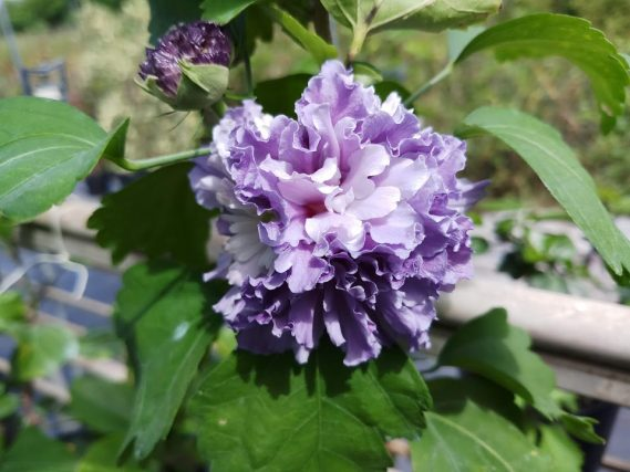Blueberry Smoothie Rose Of Sharon
