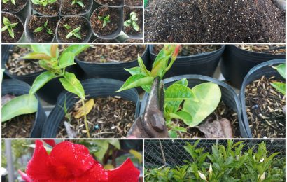 How to grow dipladenia (mandevilla) from cuttings