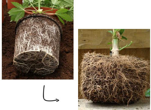 Fabric Pots Improve Root Structure
