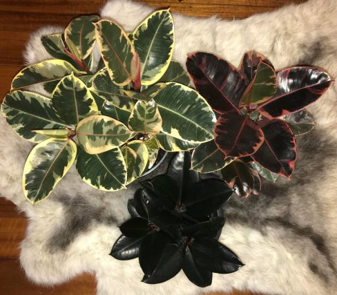 Ficus Elastica Tineke, Ruby, And Burgundy