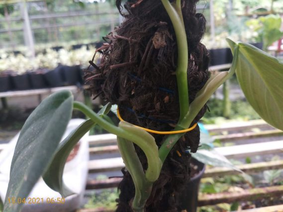 Philodendron Gigas Sau 1