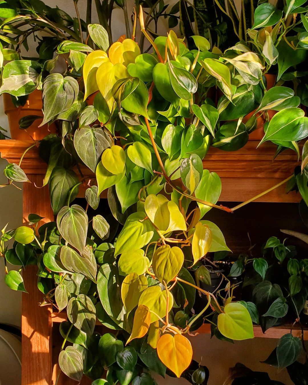 Philodendron Micans, Philodendron Hederaceum Neon, Philodendron Cream Splash, Philodendron Brasil